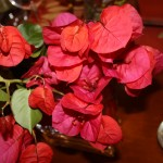 bougainvillea-from-the-yard